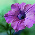 Petunia by Adria Trail