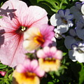 Petunia And Nemesia At Sunset by Sonya Chalmers