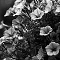 Petunias 1 Black And White by Marina McLain