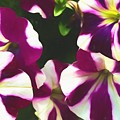 Petunias With A Flare by Debra Lynch