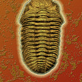Phacops Rana Crassituberculata  by Melissa A Benson