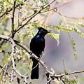 Phainopepla Black Cardinal by David Dunham