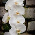 Phalaenopsis Brother White Windian by Michael Cummings