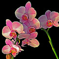 Phalaenopsis Orchid by Rodney Campbell