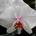 Phalaenopsis Orchid With Blush Center by Eva Thomas