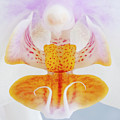 Phalenopsis IIi Visit Www.angeliniphoto.com For More by Mary Angelini