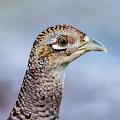 Pheasant Hen by Torbjorn Swenelius