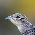 Pheasant Hen's Portrait by Torbjorn Swenelius