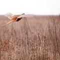 Pheasant In Flight by Gabriela Insuratelu