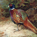 Pheasants In The Woods By Thorburn by Archibald Thorburn