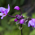Philippine Ground Orchid by Michael Yeager