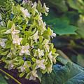 Philipsburg Manor - White Blossom by Black Brook Photography