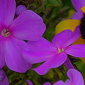 Phlox And Black-eyed Susan by Rich Ackerman
