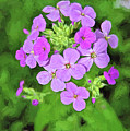 Phlox For You by Anita Hubbard