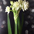 Photograph Of Narcissus Erlicheer A White Flower by Delynn Addams