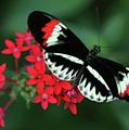 Piano Key Butterfly by Sabrina L Ryan
