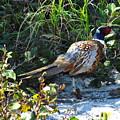 Pheasant by Donica Abbinett