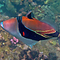Picasso Triggerfish Up Close by Bette Phelan