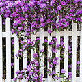 Picket Fence Rhododendron by Alan L Graham