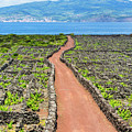 Pico Island Vineyard by Edgar Laureano