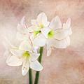 Picotee Amaryllis by Terry Davis