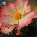 Picotee Begonia by Lea Novak