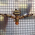 Picture Winged Bee Fly On Screen     Spring      Indiana by Rory Cubel