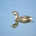 Pied-billed Grebe 2 by Bonfire Photography