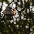 Pied-billed Grebe by Les Greenwood