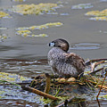 Pied-billed Grebe On Eggs by Craig Corwin