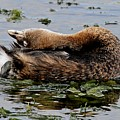 Pied-billed Grebe Spreading Oil by Ira Runyan