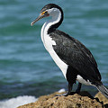 Pied Cormorant A by Tony Brown