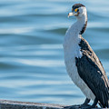 Pied Cormorant On Old Wharf by Merrillie Redden