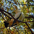 Pied Imperial Pigeon by Robert Meanor