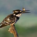 Pied Kingfisher by Basie Van Zyl