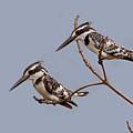 Pied Kingfishers by Aivar Mikko