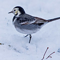 Pied Wagtail In The Snow by Bill G Smith
