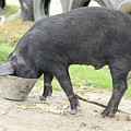 Pig Eating From A Bucket by Robert Hamm