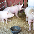 Pig by Jeelan Clark