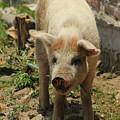 Pig On A Farm by Robert Hamm