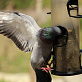 Pigeon And Feeder Wings Spread by Douglas Milligan