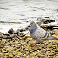 Pigeon Close To The River by Alain De Maximy