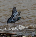 Pigeon Getting Ready To Land by Jan M Holden