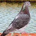 Pigeon by J M Farris Photography