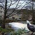 Pigeon Watch by Jacqui Kilcoyne