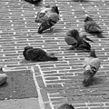 Pigeons Of Amsterdam by Noah Cole