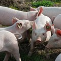 Piglets by FL collection