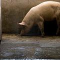 Pigs At A Hog Farm In Kansas by Joel Sartore