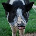 Pigs Ears by Joy Bradley