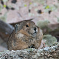 Pika On The Lookout by Cascade Colors